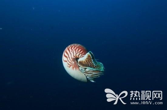 全球最罕见动物异鹦鹉螺