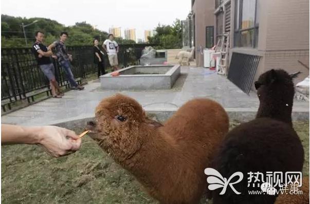 广州男子花20万买4只羊驼 租复式房配空调供养