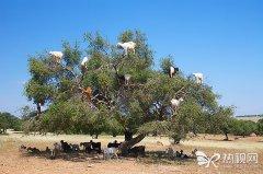 一种挂满山羊的树